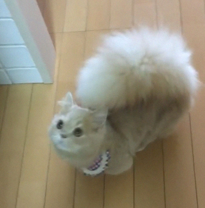 bell the cat super fluffy tail