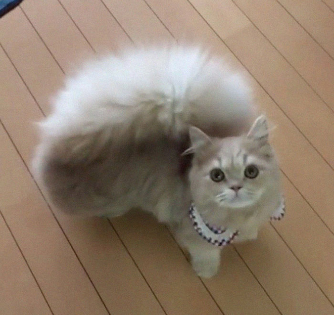 bell the cat wearing blue gingham collar