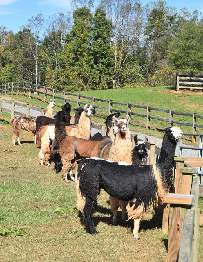 divine llama vineyards wines ranch