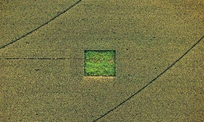 Cannabis Field in the Middle of a Cornfield
