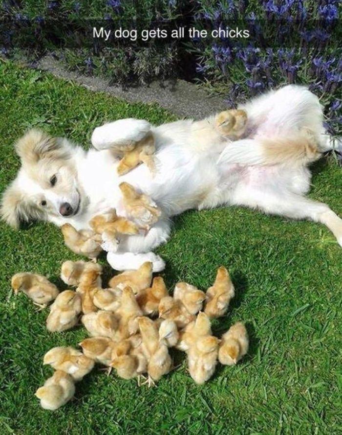 Dog and Chicks Pun