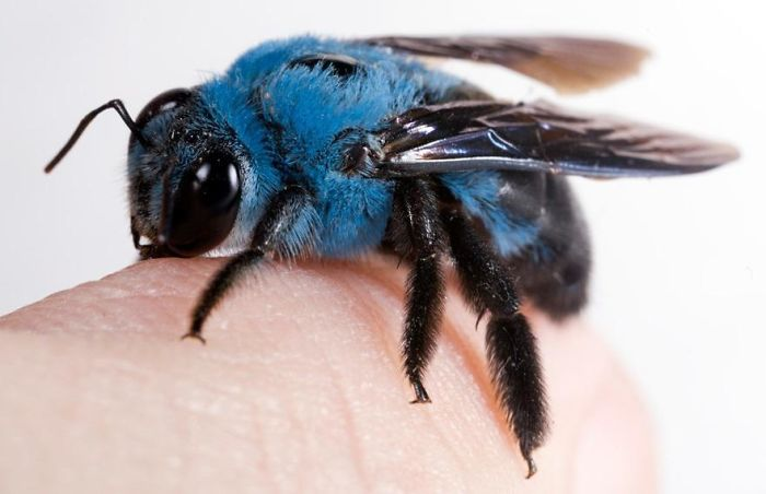 Fascinating Things Blue Carpenter Bee