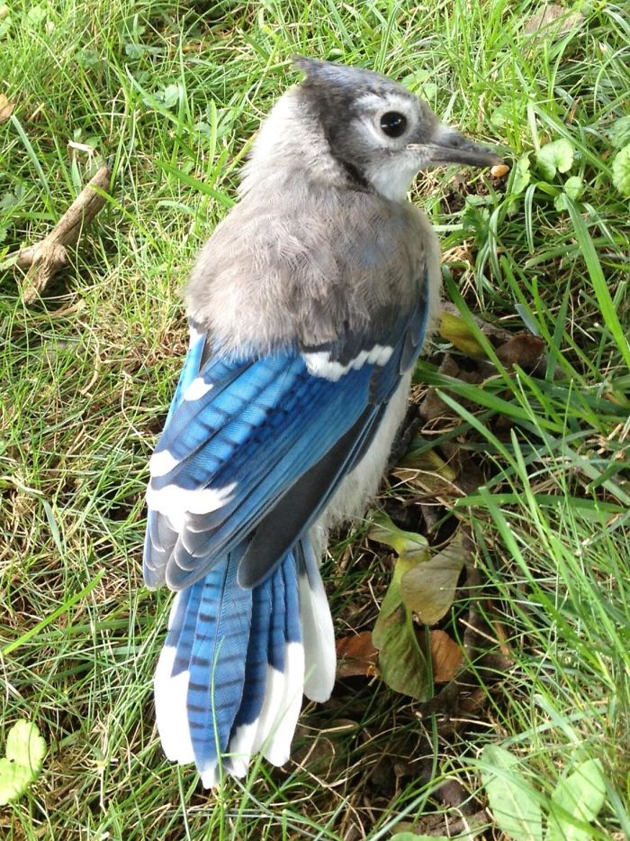 Fascinating Things Blue Jay with Half Baby Feathers