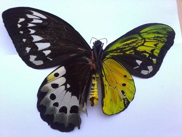 Fascinating Things Half Male, Half Female Butterfly