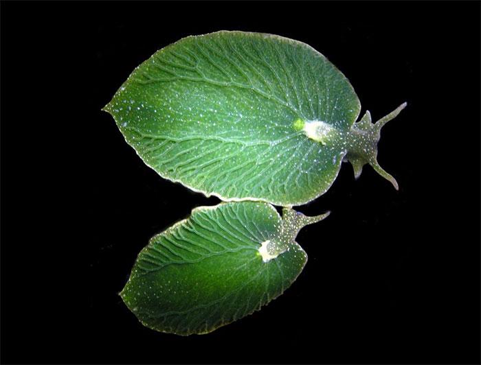 Fascinating Things Sea Slug That Looks Like a Leaf