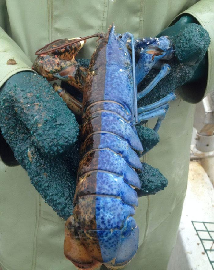 Fascinating Things Split Lobster