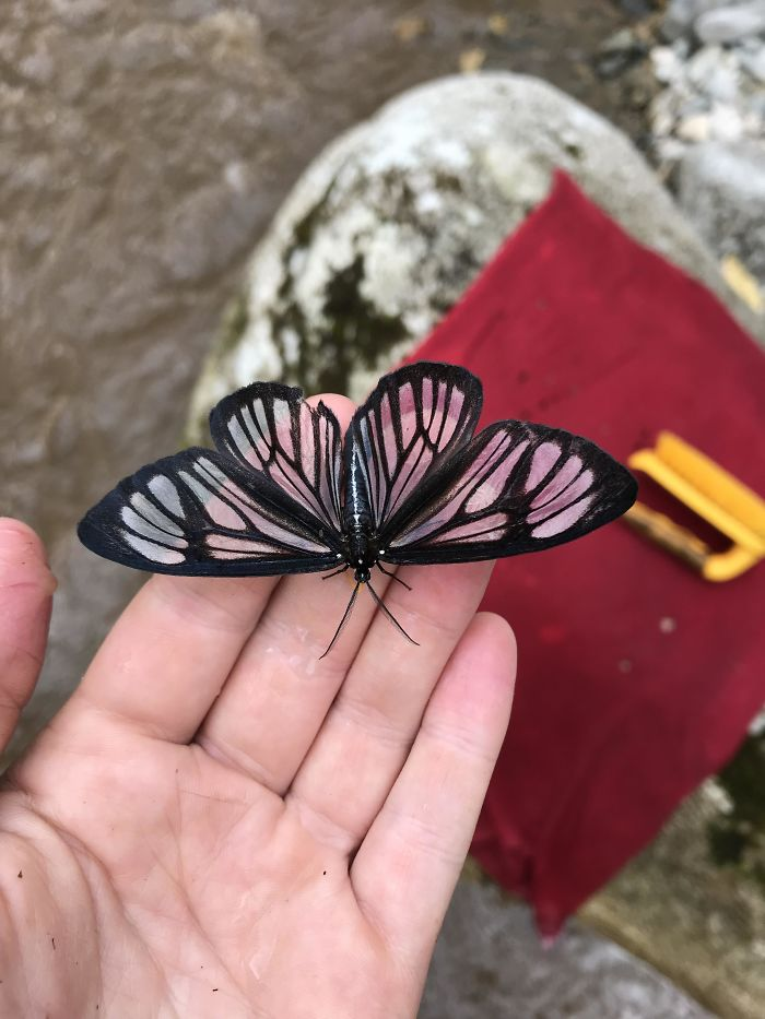 Fascinating Things Transparent Butterly in the Ecuadorian Amazon