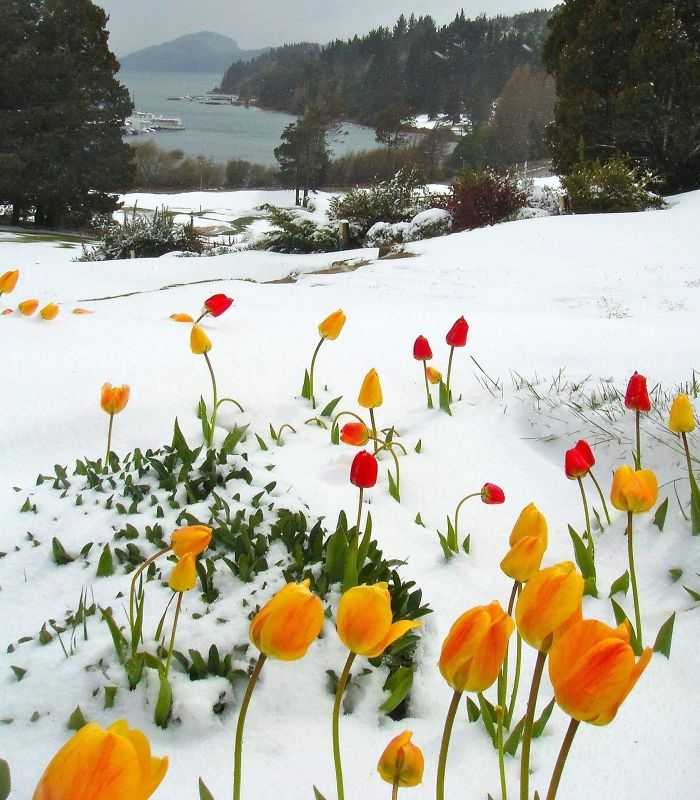 Fascinating Things Tulips Blooming in the Snow
