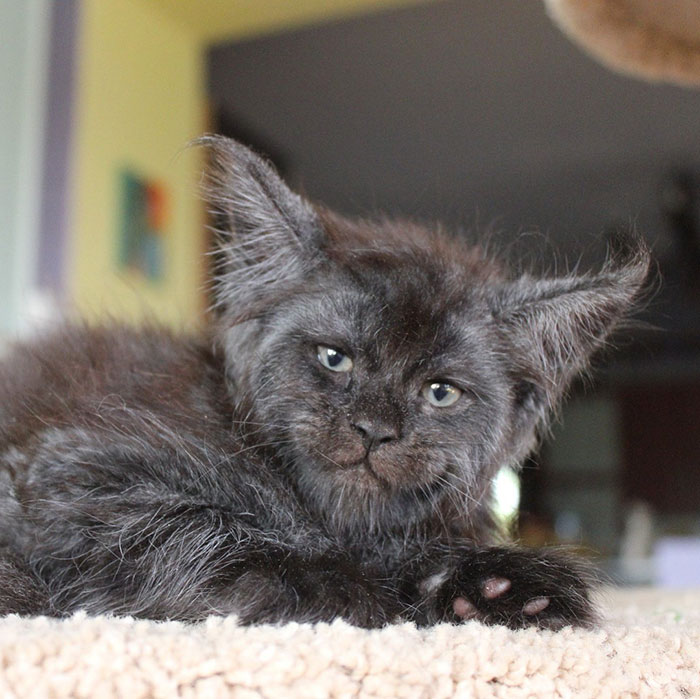Gray Maine Coon Kitten Named Valkyrie