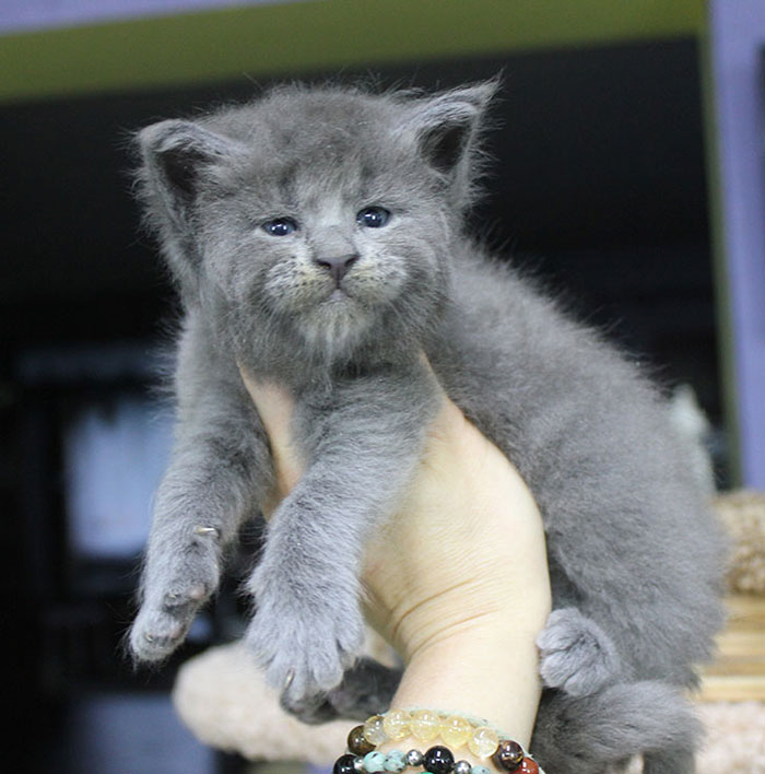 Gray Maine Coon Kittens 1