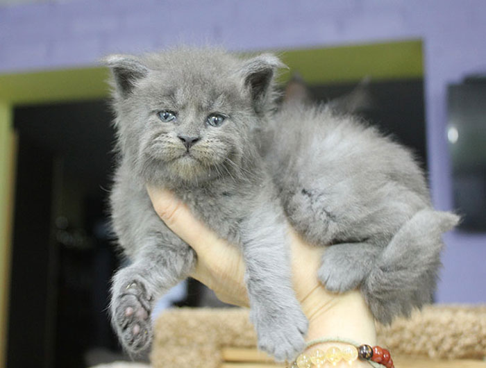 Gray Maine Coon Kittens 2