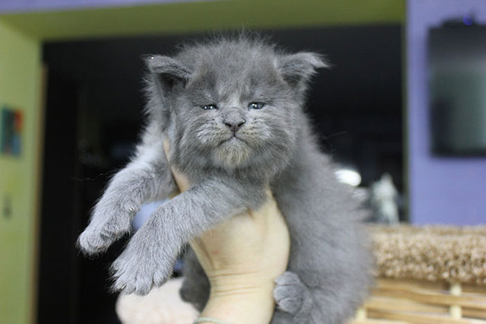 Gray Maine Coon Kittens 3