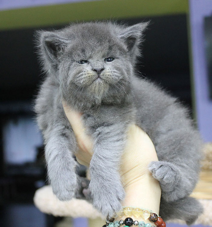 Gray Maine Coon Kittens 4