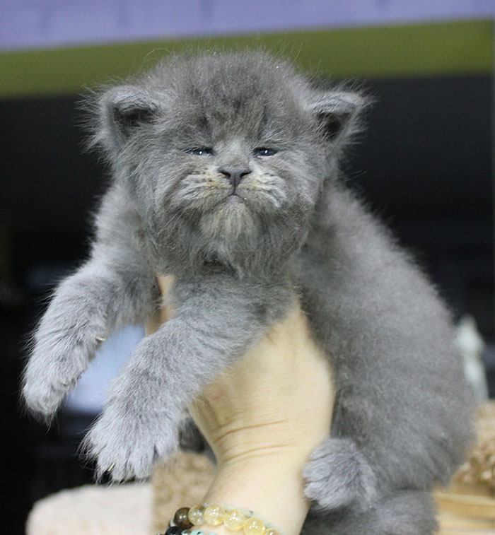 Gray Maine Coon Kittens 5