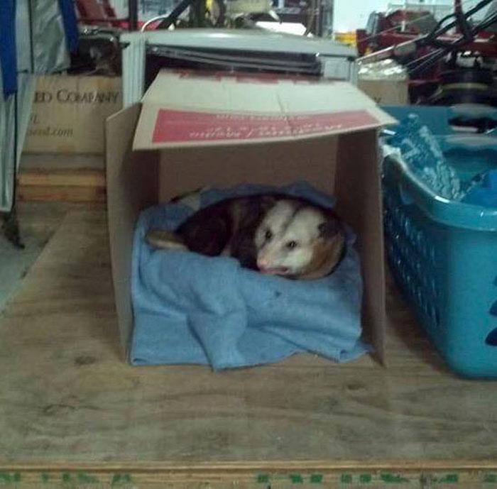 Hank the Elderly Possum