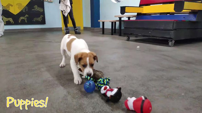 Puppy Inspects Toys Laid Out On The Floor