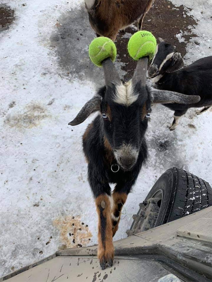 Tennis Ball Goat