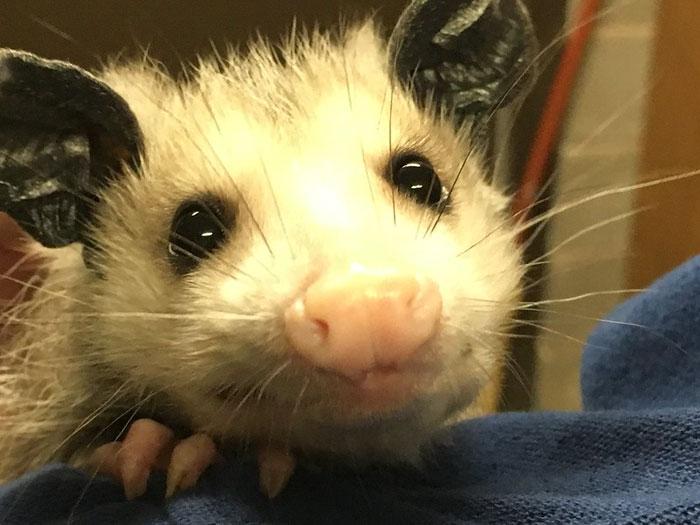 a possum smiles at the camera