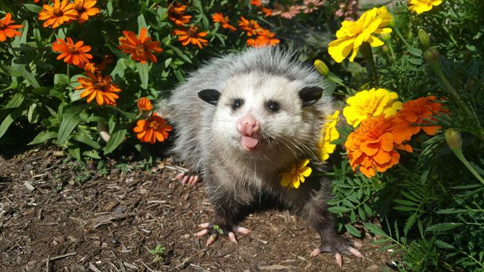a possum sticks its tongue out between flower plants