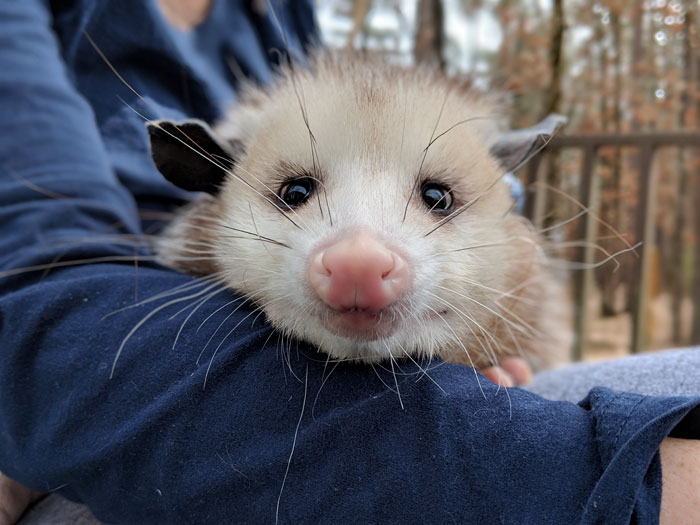 adult possum stares at camera
