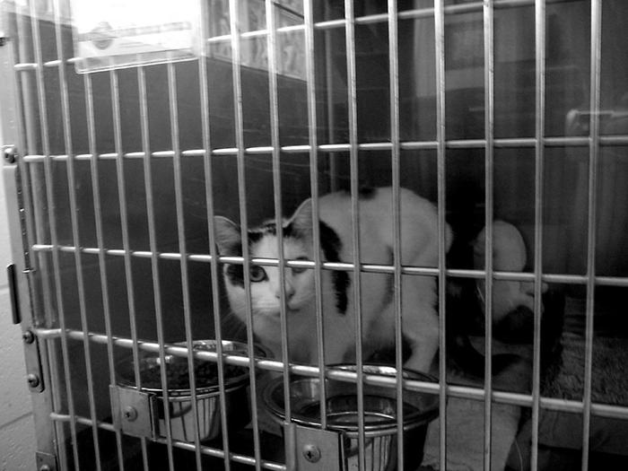 Animal Shelter cat