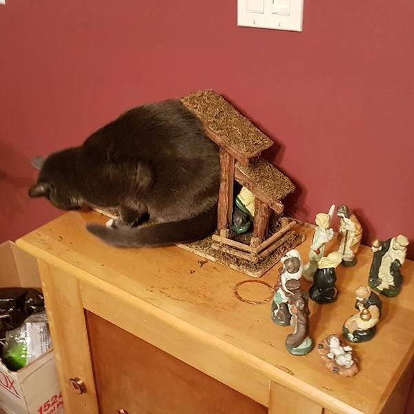 cat stuffs itself into the manger