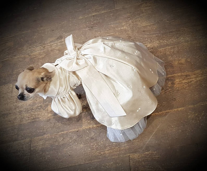 chihuahua wearing the bridesmaid dress