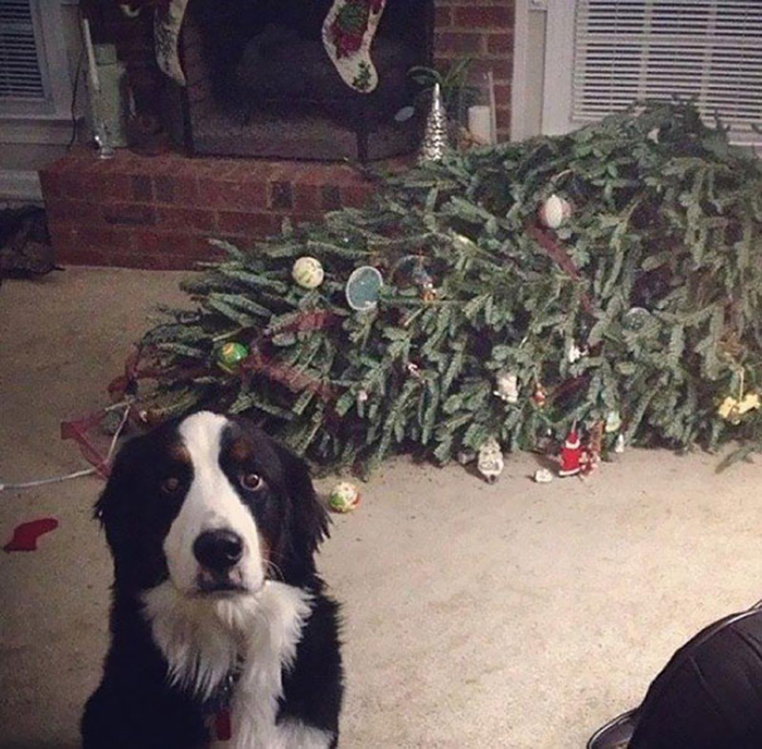 dogs and cats destroying christmas tree fainted