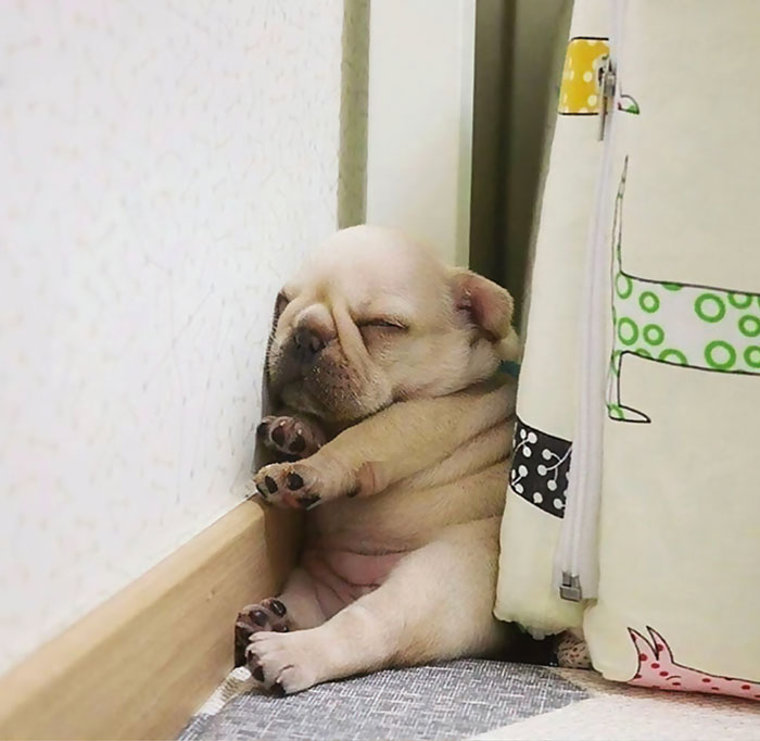 funny dog sleeping positions frenchie pup