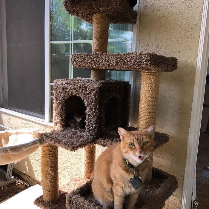 gambino bambino the viral talking cat