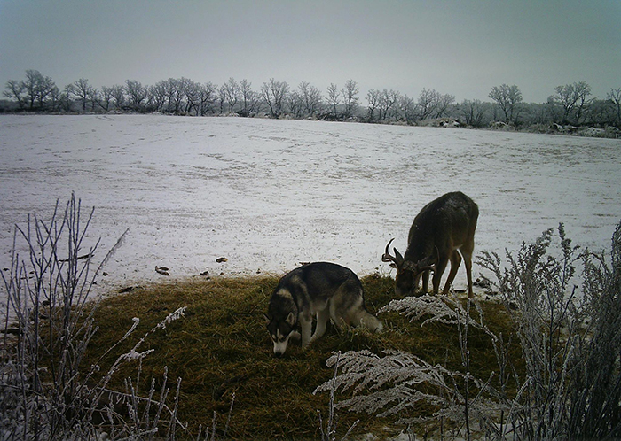 koda sniffs the ground while the buck eats the grass