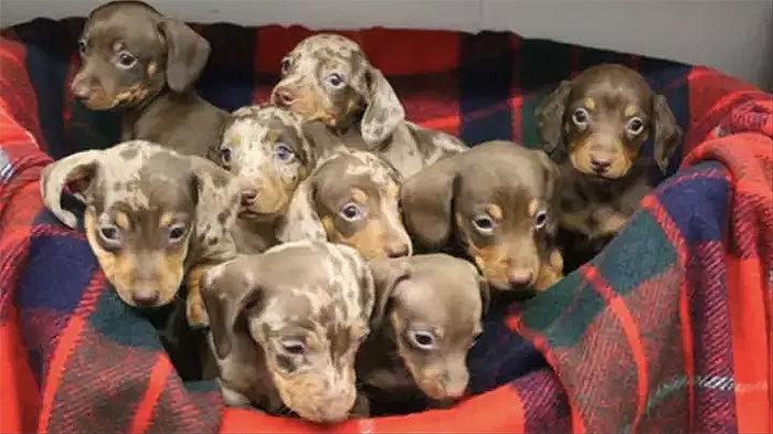 nine sausage dog puppies rspca