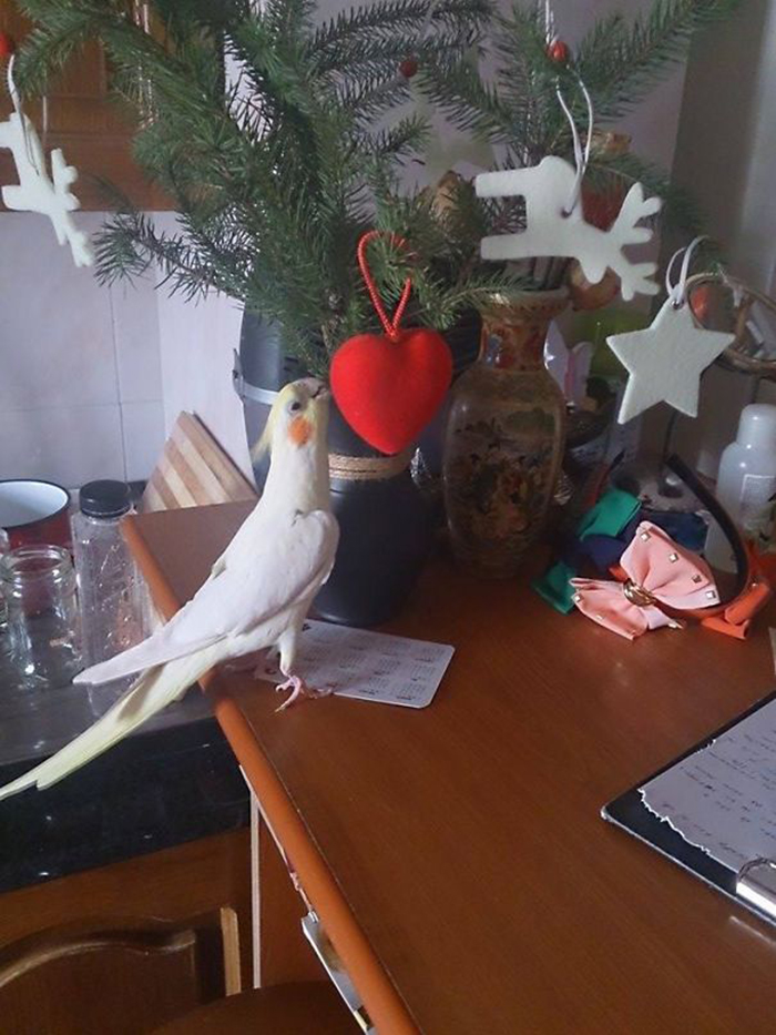 pets destroying christmas white parrot