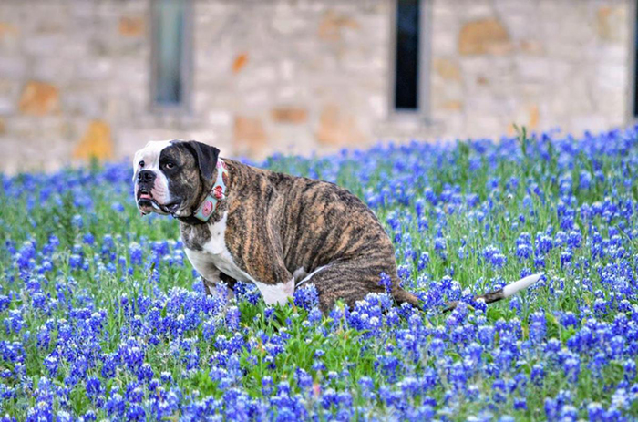 pitbull poops in a field of blue flowers