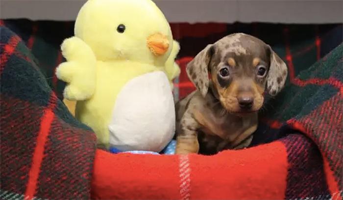 rspca dachshund puppy