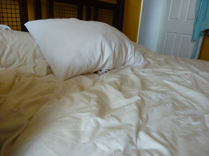 sneaky hiding kitty under pillow
