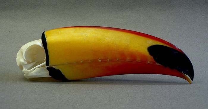 toucan facts beak skull comparison