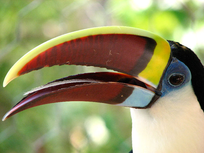 toucan facts tongue