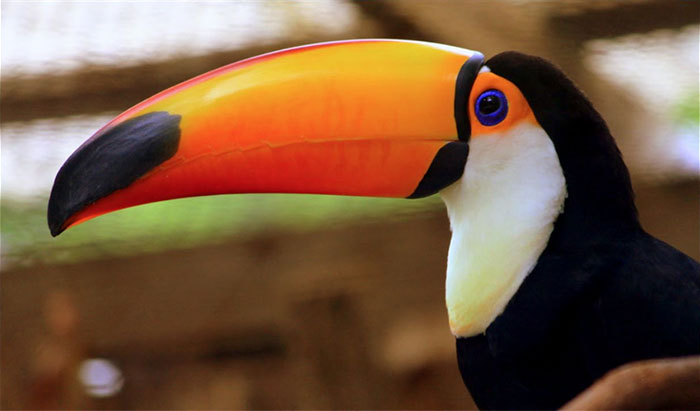 toucan facts tumblr thread
