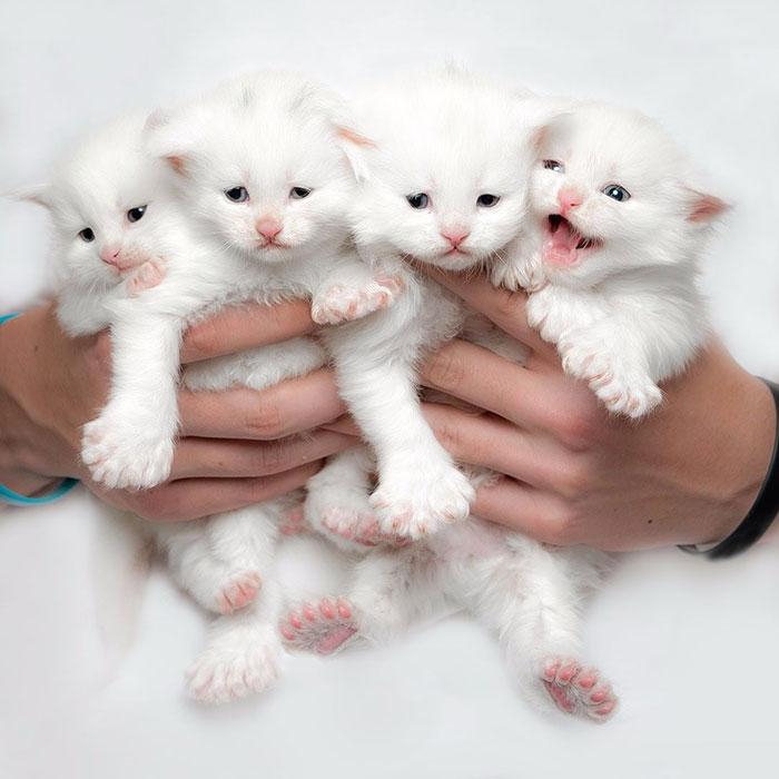 4 White Kittens