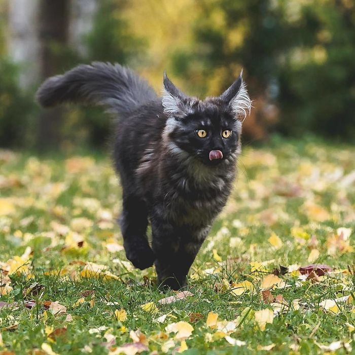 Black Maine Coon Kitten on Grass