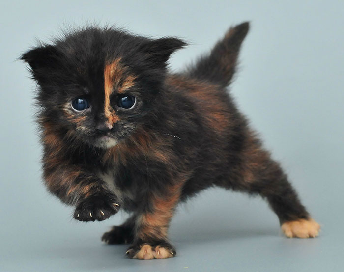 Black Maine Coon Kitten with Orange Stripe on Face