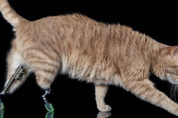 Cat With Prosthetic Back Legs