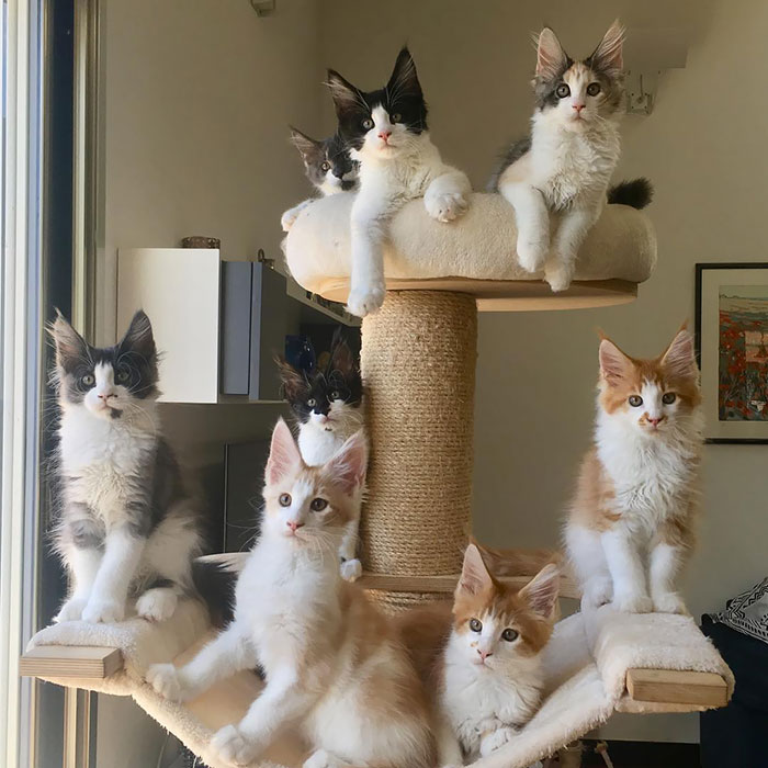 Eight Maine Coon Kittens on a Cat Tree