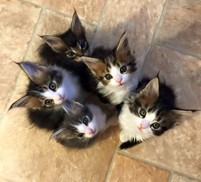 Five Maine Coon Kittens