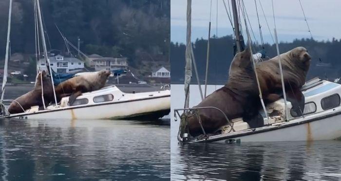 Gigantic Sea Lions