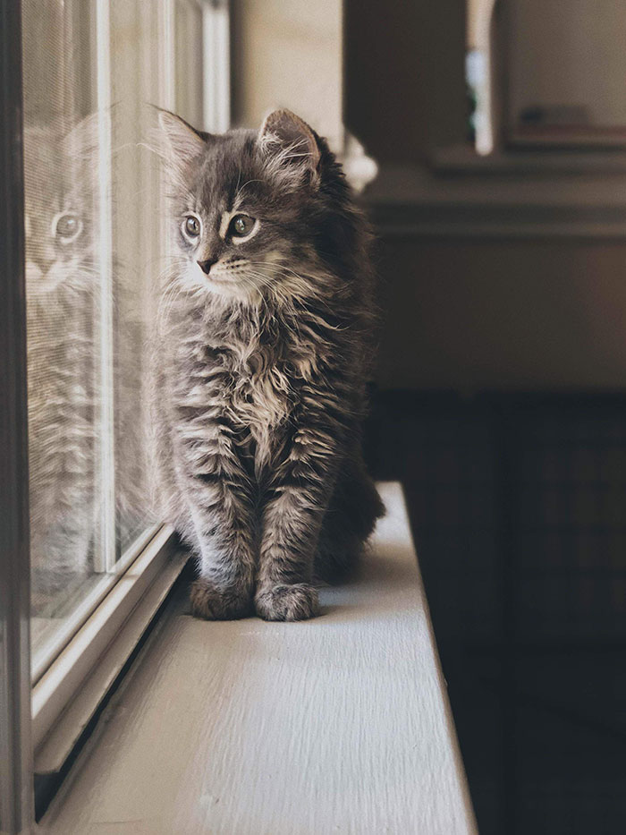Gray Maine Coon Kitten Looking Out the Window