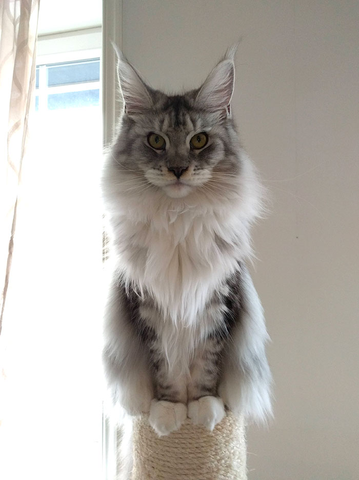 Gray Maine Coon Kitten on a Cat Tree