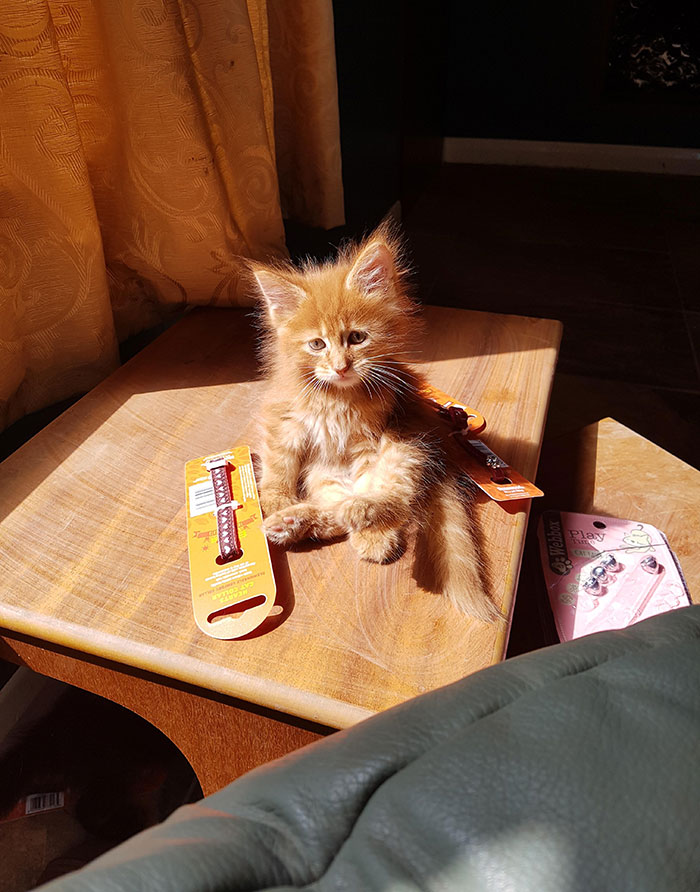 Kitten Sitting on a Table