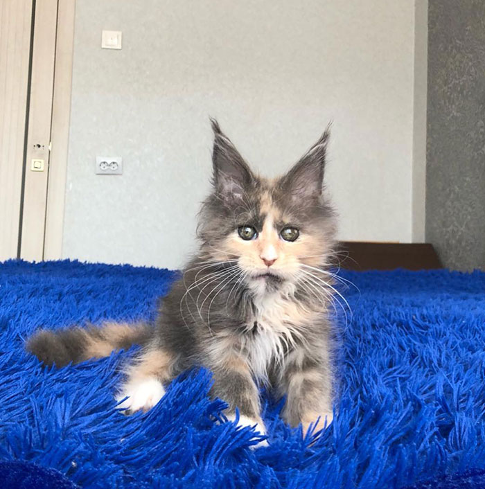 Kitten on a Blue Mat